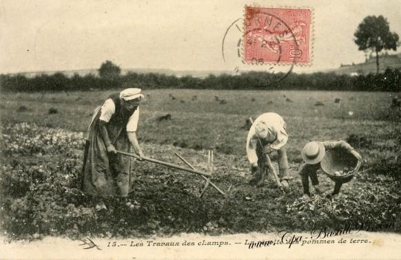 Les travaux des champs-la recolte de pommes de terre