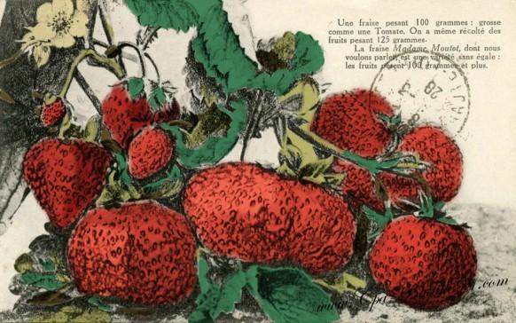 carte-postale-Ancienne-Une Fraise de 100 grammes grosse comme une tomate-couleur