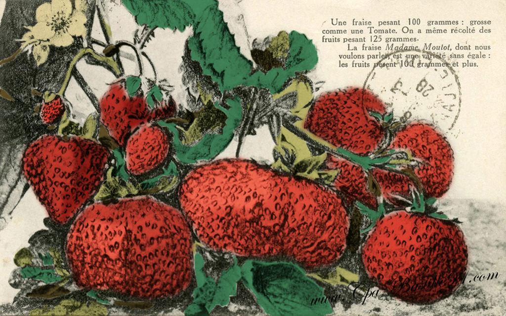 Coloriage Grosse Fraise.Une Fraise De 100 Grammes Grosse Comme Une Tomate A Argenteuil